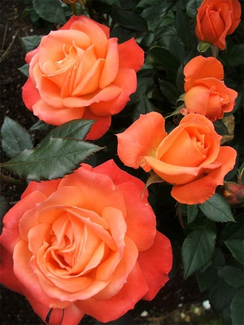 flowersgardenlove:  Spiced Coffee Roses Flowers Garden Love