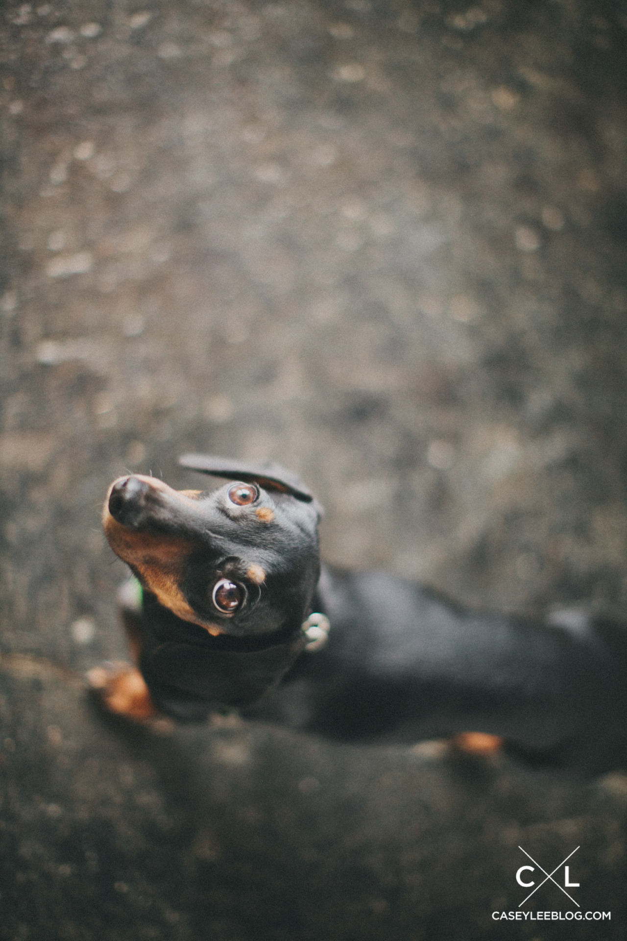 our miniature dachshund, Lola
