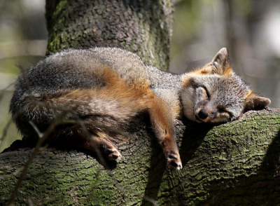 theanimalblog:  Contentment. Photo by VariegatedVibes  Foxses
