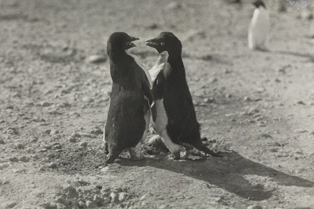 "The Sexual Habits of the Adelie Penguins The Sexual Habits Of The Adélie Penguins is a 100-year-old paper graphically describing the bizarre sexual practices of Adélie penguins written by George Levick, who joined Captain Scott on his Terra Nova expedition in 1911. He spent an entire Antarctic summer studying the reproductive behaviour of the species.   As a post-Edwardian gentleman, Levick was understandably taken aback by the ""astonishingly depraved"" acts he saw, and struggled to describe them. Douglas Russell, of the Natural History Museum's zoology department, says ""He witnesses things that profoundly shock him, to the point of being incapable of even writing them in English — he was so worried about it he started to encode it in Greek."" Nevertheless, he took to the task at hand and wrote in extraordinary detail of the ""hooligan cocks … whose passions seemed to have passed beyond their control"".  Surrounded by tens of thousands of rampantly copulating birds - ""sometimes more than once a day"", Levick notes with awe - he depicted a city under attack by delinquents on the verge: ""Many of the colonies … are plagued by little knots of 'hooligans' who hang about their outskirts, and should a chick go astray it stands a good chance of losing its life at their hands. It is interesting indeed to note that, when nature intends them to find employment, these birds, like men, degenerate in idleness.""  He also gives accounts of apparent necrophilia, however, necrophilia, as Levick perceived it, is a human term, and therefore hardly likely to explain penguin behaviour. Low temperatures in the Antarctic did preserve countless dead birds and, male or female, if their frozen corpses happened to be assuming the position, a passing penguin could not pass up the opportunity to mount it. You can understand Levick's suspicions.  Levick went on to witness what he struggles to describe as a kind of gang rape, with one female paralysed by the cold water [which is] spotted by [a male] and, ""after a short inspection, he deliberately copulated with her, she being, of course, quite unable to resist him,"" before six more try their luck, with varying degrees of success. The behaviours themselves can all be explained away now, of course, and are detailed here.  Levick's thinly veiled judgement demonstrates a common practice that many fall into. ""There is a dreadful habit of anthropomorphising penguins, dominantly because they are bipedal,"" says Russell. Levick was therefore appalled by the behaviours he saw, holding the Adélie population up against human standards of morality: ""There seems to be no crime too low for these penguins,"" he comments at one point. One reviewer of Levick's published paper put it well when he said in 1915: ""The book is unique, and will appeal to… the public at large for whom these strange, erect, man-like little birds have a strange fascination.""  [Source]"