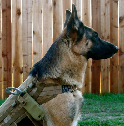 sharpbrighttactical:  Badass, this dog looks like a confident warrior, he's packing tactical steel! From Grayman Knives FB page https://www.facebook.com/graymanknives1