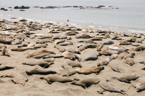 Elephant seals by Liz Kuball.