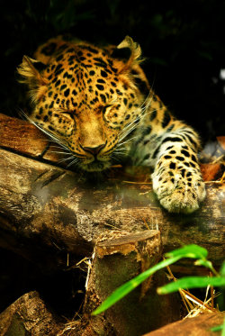 earthlynation:  Amur Leopard Snooze by shadow-and-flame-86