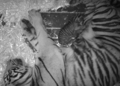 Endangered tiger born at San Francisco zoo (Photo: SF Zoo / NBC Bay Area) It's anyone's guess what the sex of the 10-day old Sumatran tiger at the San Francisco zoo is. That's because no human has been inside the Lion House to see the cub, born Feb. 10 to parents Leanne and Larry. Still photographs taken from the video camera inside the grotto show the striped cub nuzzled against its resting mother. Read the complete story.