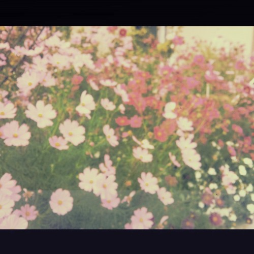 #vintage #flower #garden (Photo taken and uploaded via MOLOME )