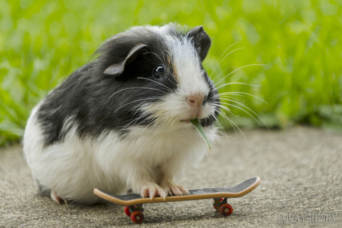 guineapiggies:  I can eat and play (by Louay Henry)