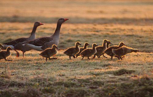 Golden Goslings by Pepijn Hof on Flickr.