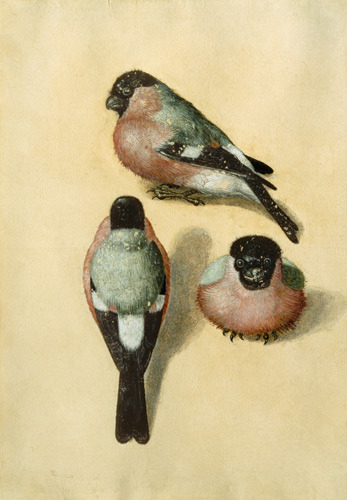 heaveninawildflower:  Bullfinches. Watercolour by Albrecht Dürer (1471–1528). Wikimedia.