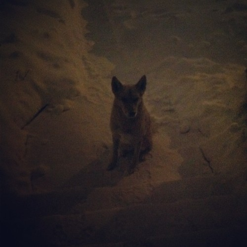 #germanshepherd #dog #canine #pet #winterstorm #loyal #nighttime #snow #snowstormsaturn #krautdog