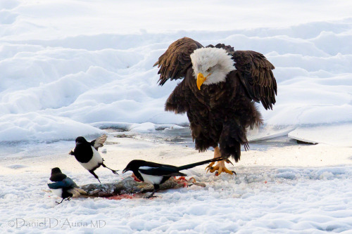 gallantcannibal:  IS MINE! Bald eagle and panicked magpies, photographed by Daniel A. D'Auria MD.  Natural…