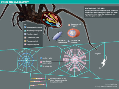 rhamphotheca:    Untangling the web: how spiders use their silk – graphic Spiders produce different types of silk in different glands. Here, we show six types of silk, the name and location of the gland that produces it, and what the spider uses it for. Graphic by Pete Guest - Click through to see larger (via: The Guardian UK)