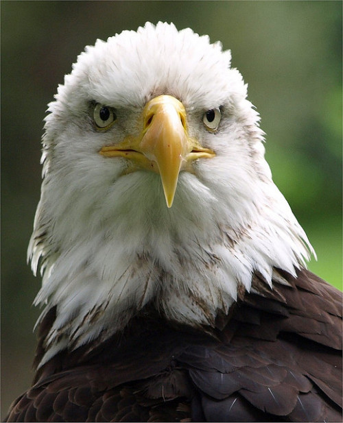 funkysafari:  Bald Eagle by Romeoliverpool
