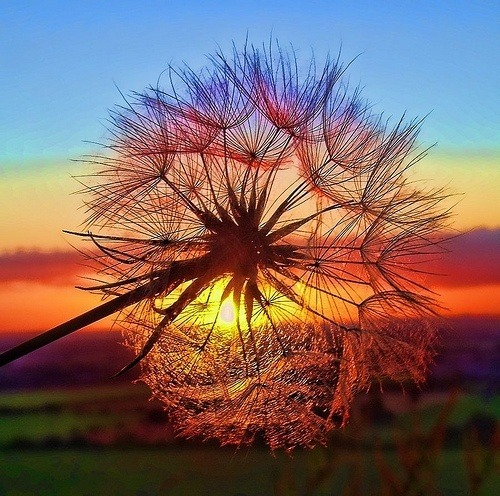 ijustlikenutella:  Dandelion in the Sunset, Tuscany, Italy on @weheartit.com - http://whrt.it/16A14Qq