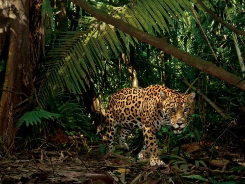 earth-song:  Jaguar, Ecuador Photograph by Steve Winter, National Geographic A jaguar on the hunt trips a camera trap at a spot frequented by piglike peccaries, a favorite prey. To the Waorani, one of the native groups in this area, jaguars are ancestral spirits that visit shamans in dreams to tell them where game is plentiful in the forest.