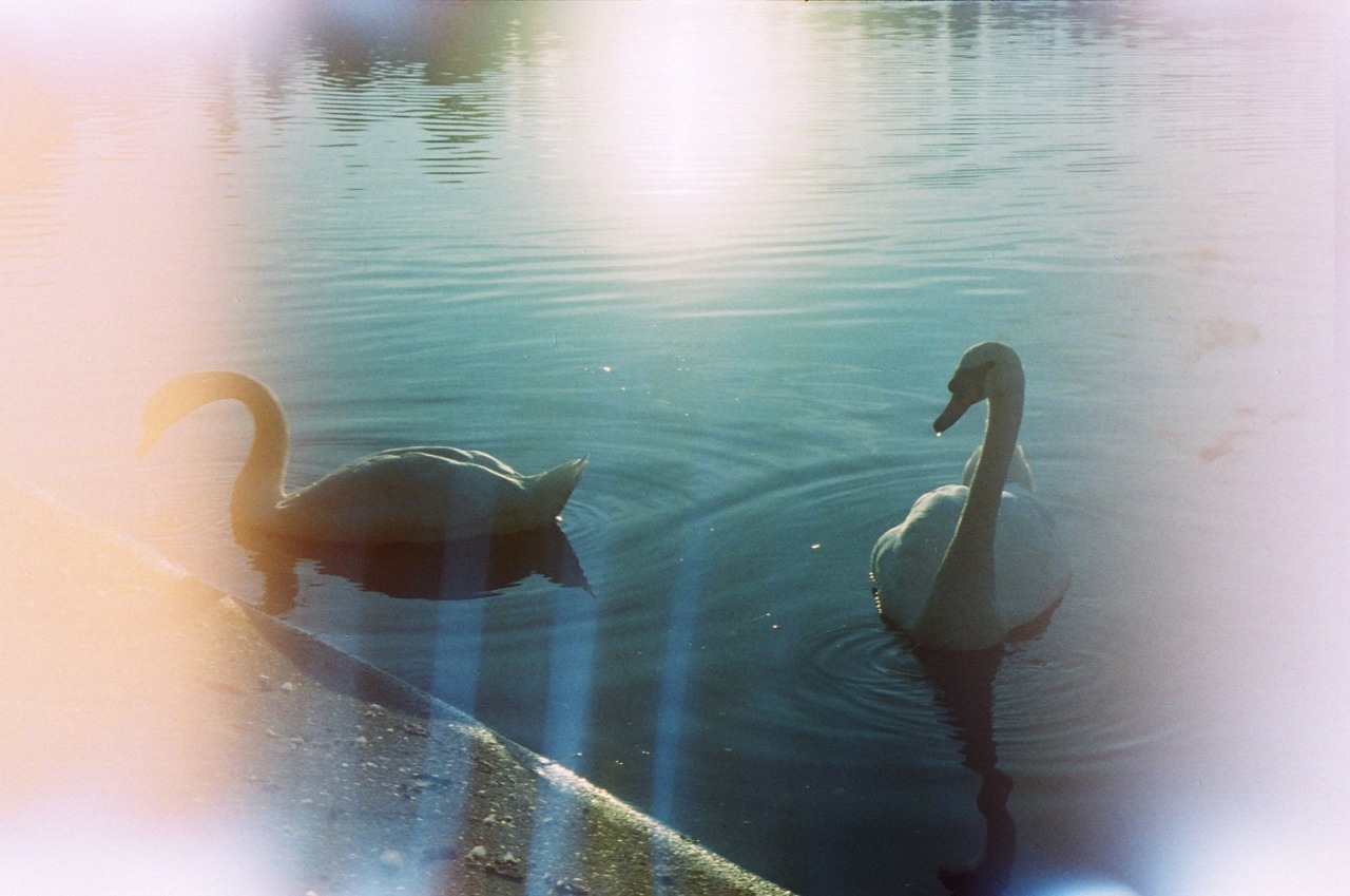filmisgod:  Graceful Swans of Never
