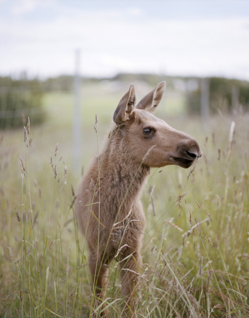 a baby / calf moose. taken by chopchops / bobobviously.
