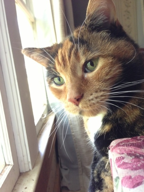 catsamazing:  Her favorite thing to do is sit by this window and hit the person sitting on the couch with her tail.