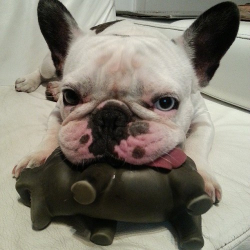 this little pig is my new fave toy. #petstagram#frenchie#frenchbulldog#nofilter