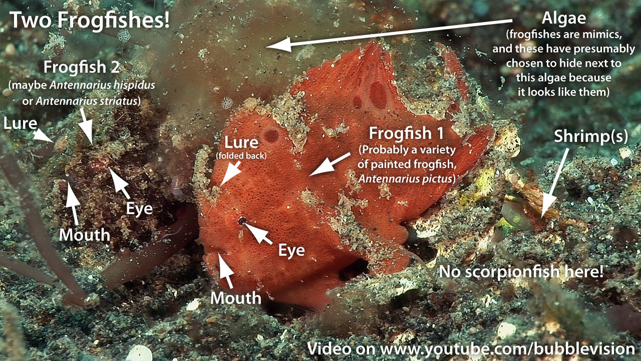 "Answer to my video puzzle ""How Many Fish?"". There are 2 frogfishes here. I never saw the far one until I watched this video back on my computer."