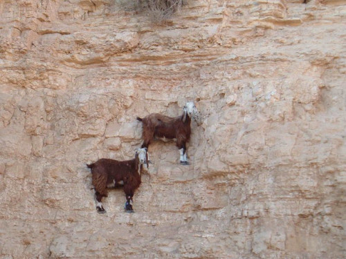 Antigravitational goat.