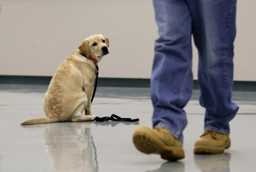 Puppy training: Future service dogs head to maximum-security prison (Photo: Patrick Semansky / AP) The Associated Press reports from Cresaptown, Md. — Hazard Wilson's new cellmate is a hairy bundle of energy whose playful zeal can't be contained by steel doors: a five-month-old golden retriever. Yardley is one of three canines assigned since September to inmates at a maximum-security prison in western Maryland for training as service dogs for disabled military veterans. Read the complete story.