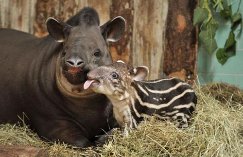this is a baby tapir blog now