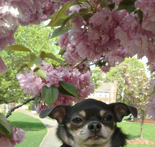 Chihuahuas are in bloom