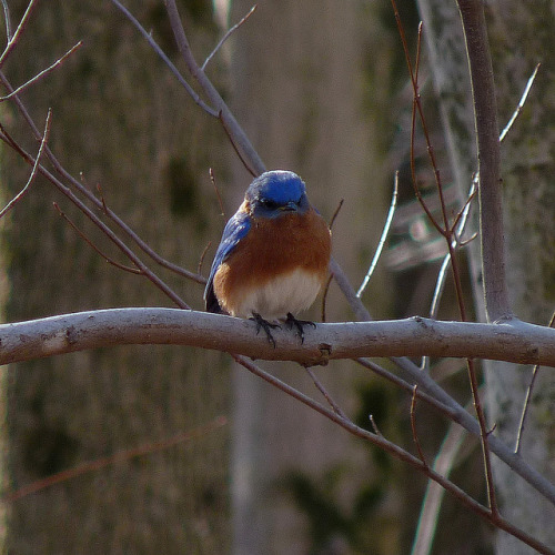 Eastern Bluebird on Flickr.