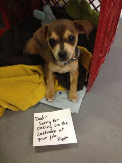dogshaming:  Pippa might have gotten you fired. Dad- Sorry for peeing on the customer at your job. PippaView Post