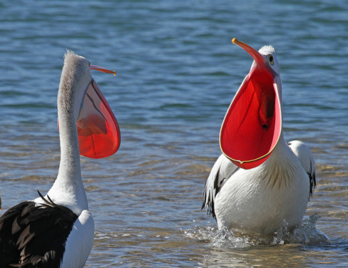 fairy-wren:  Courting Australian Pelicans. Photo by Christina Port