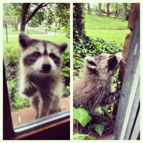 hunterfrederick:  So #cute #baby #raccoon #sweet #Pocahontas #disney