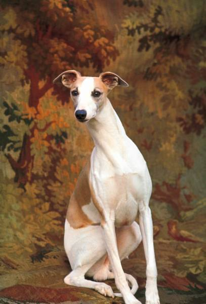 Portrait of whippet chosen Best in Show and Miniature poodle, Ch. Tedwin's Top Billing fr. estate of Colonel E. E. Ferguson, sitting in regal fashion in armchair at 88th annual Westminster Kennel Club Dog Show, circa 1963 New York.
