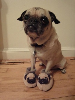 Pugceptionare we still making inception jokes? No? Carry on, then.