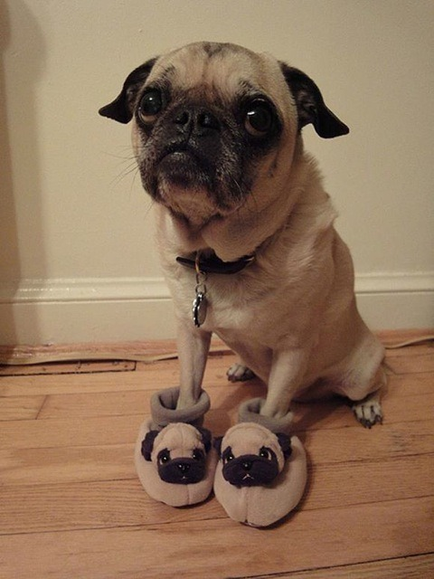 Pug with pug slippers aw