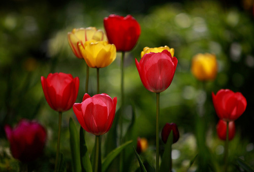 Tulip Pleasure by AnyMotion on Flickr.