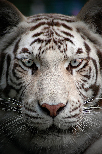 v0ltis:  Paradise Wildlife Park: White Tiger by —CWH— on Flickr.