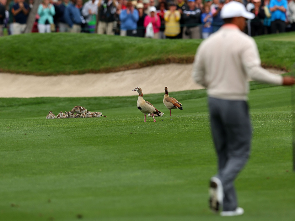 It's not cute kangaroos, but we'll take it: A family of ducks watches Tiger Woods walk up the seventh hole during the first round of the Honda Classic. Did anyone check their tickets?? Ugh, golf fans are so out of control. (Photo: Mike Ehrmann/Getty Images)
