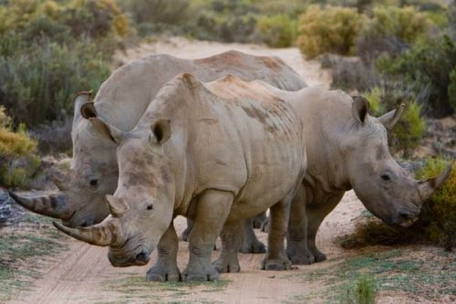 3 rhinos  at Aquila Game Reserve, South Africa.