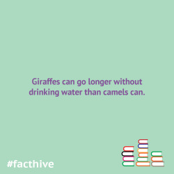 Giraffes can go longer without drinking water than camels can.