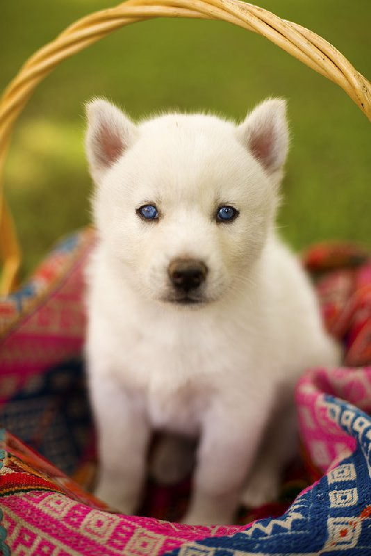 fuckyeahhuskys:  Blue Eyes (by atineb57)