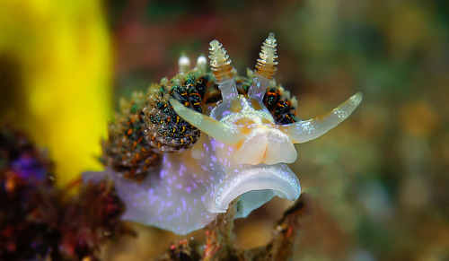 fuckyeahbranchs:  White Nudibranch by nicolas.terry on Flickr.