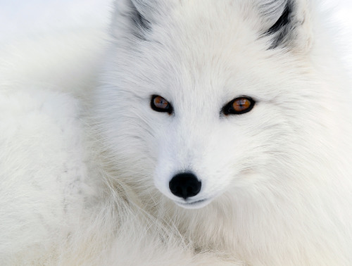 dullahan:  yaruo:   applearts:  Onexposure - 1x.com - Photo: Arctic Fox by Alain Turgeon