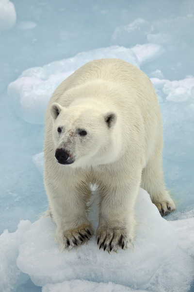nosens:  polar bear (by pilapix)