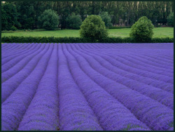 Lavender Fields of Kent, England.