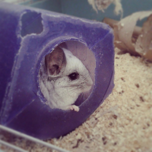 sammikat:  My clean little madam! #chinchilla #mosaic #littlefeeties #clean #bathtime #dustbath #makingmesneeze