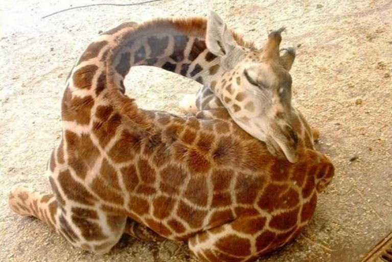 opcion:  Giraffe Sleeping by ~athor1994