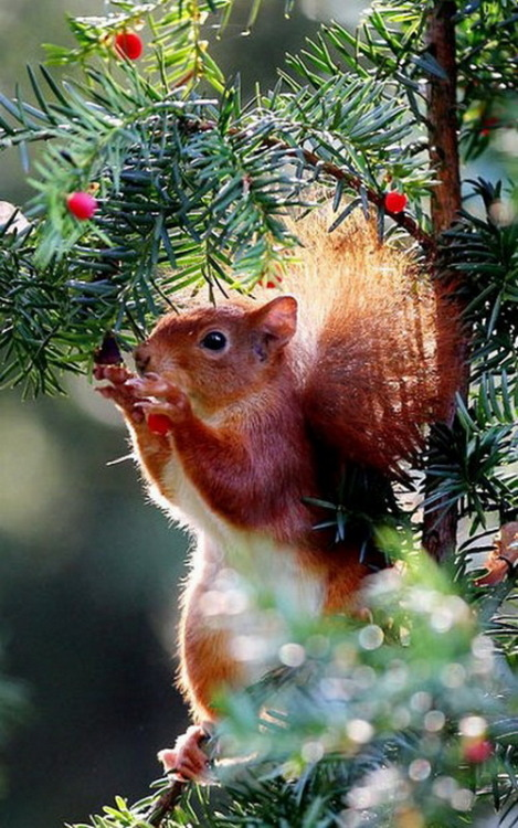 magicalnaturetour:  A red squirrel eats berries in a tree in Cologne, GermanyPicture: OLIVER BERG/AFP/Getty Images