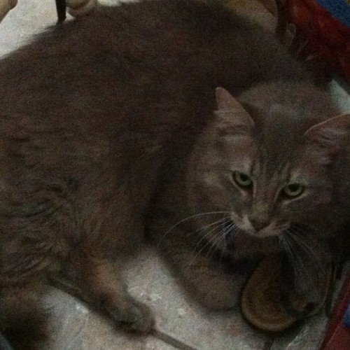 My kitty has a shoe fetish xD #kitty #cat #kitten #cute