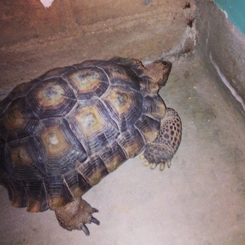 My boyfriend has a tortoise!! His name is Pete, and he just woke up from hibernating, but he's still a little sleepy 😝 loooooove him!!!