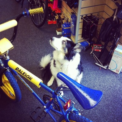 #bikeshopdog of the day is Monty down at Samways in Wimborne. With bonus Raleigh Burner